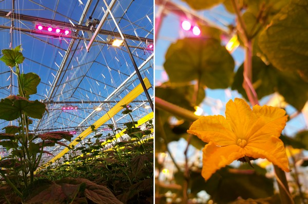 Left: hybrid lighting with HPS-LED, right: cucumber crops in bloom