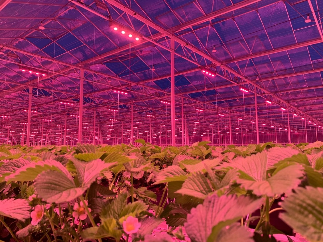 Strawberry projects with LED Grow Light CoolStack®